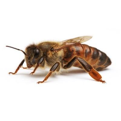 Пчеломатки Карника Плодные на 2020 год - Пасека Баскевич Андрей