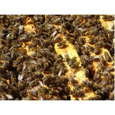 Купить Пчелосемья Породы Карника